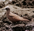 Galapagos brown noddy