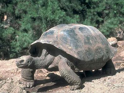 Galapagos Islands Pictures Giant Tortoise