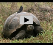 Galapagos Islands tortoise video