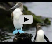 Galapagos Blue-Footed Booby video