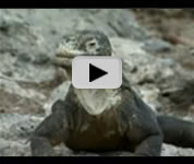 Galapagos Islands lizards video