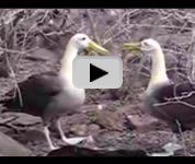 Galapagos Islands albatross video